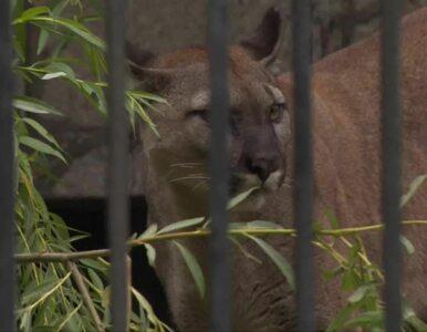 """""""Wygląda na bardzo zadbaną"""". Puma Nubia trafiła do zoo w Chorzowie,..."""