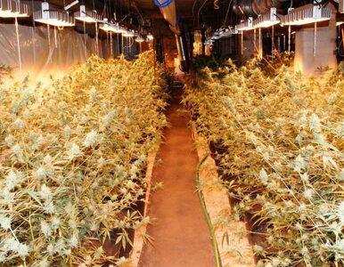 Narkotyki warte ponad 1 mln złotych. Tak wyglądała uprawa 43-latka