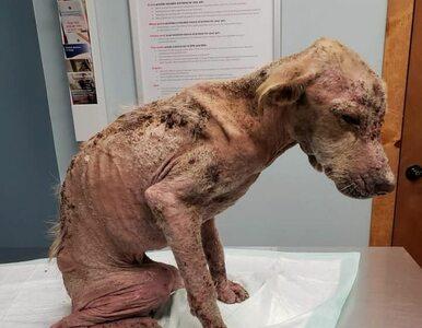 Metamorfoza psa, który były skrajnie wycieńczony i zaniedbany