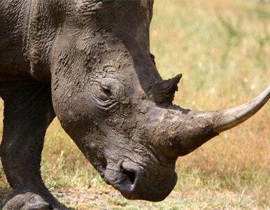 Polacy ukradli rogi nosorożca i stracili wolność