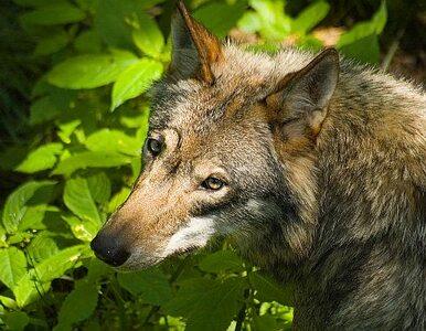 Bobry, wilki i niedźwiedzie rozrabiają, my płacimy