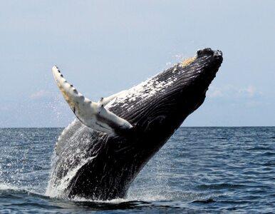 Gigantyczny humbak prawie przewrócił łódź. Jest zdjęcie!