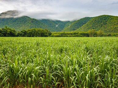 Miasto Majów... na plantacji trzciny cukrowej. Badają je polscy archeolodzy