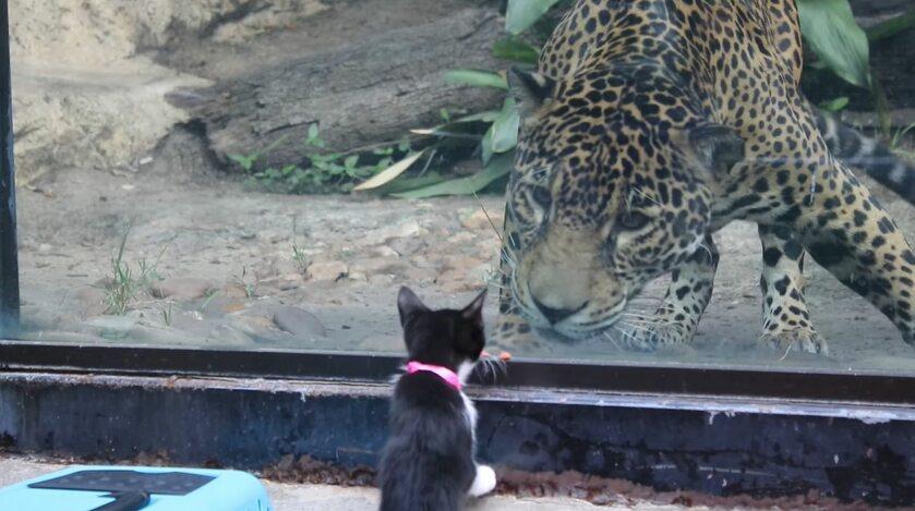 Kociak i lampard w zoo w San Antonio