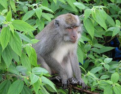 Naukowcy zarazili koronawirusem 18 makaków. Chcieli sprawdzić...