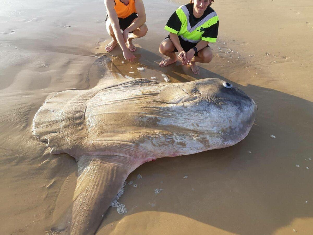 Samogłów znaleziony w Australii