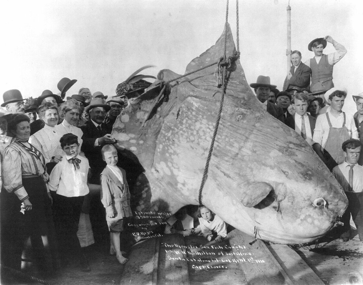 Samogłów wyłowiony w 1910 u wybrzeży Kalifornii Osobnik na zdjęciu ważył ok. 1,6 tony.