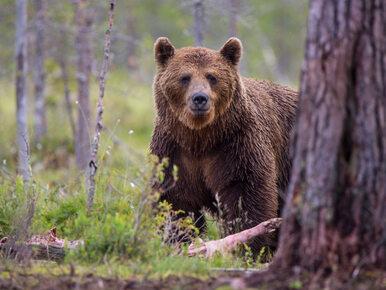 W Pilźnie pojawił się niedźwiedź. Urzędnicy ostrzegają mieszkańców