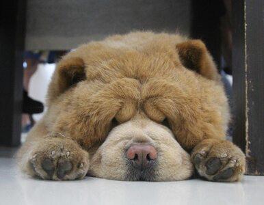 Ten pies wygląda jak pluszowy miś. Stał się gwiazdą sieci