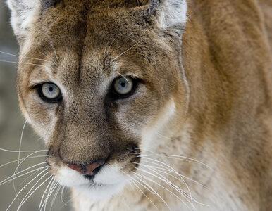 Puma zaatakowała pięciolatka. Matka dziecka powstrzymała drapieżnika