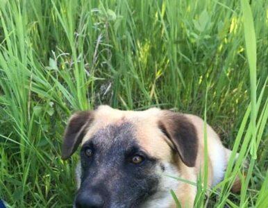 Zelda – pies, który pokonał ponad 60 km, by wrócić do swojej opiekunki
