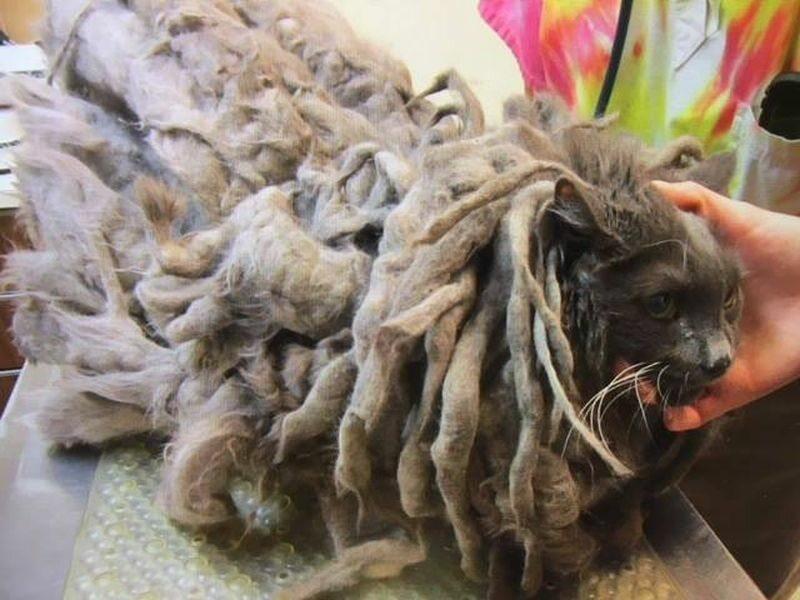 Kot Bob Marley przed wizytą u fryzjera