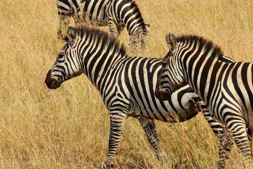 Zebry, zdjęcie ilustracyjne