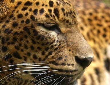 Jaguar uciekł z zoo. Został zastrzelony