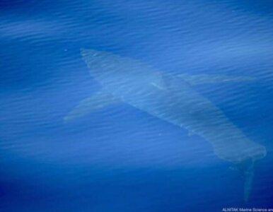 Żarłacz biały u wybrzeży turystycznego kurortu. To pierwszy taki...